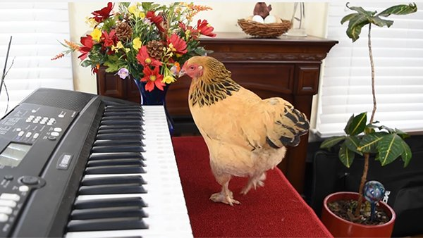 Watch This Talented Chicken Peck Out Puccini